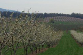 To build a good orchard, you need a good foundation. The ideal site is on rolling or elevated land, so that cold air can drain during spring frosts. Remember that elevation may lead to wind or cold damage. Please consider location carefully.