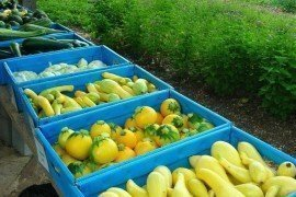Various gourds and squash in bins after harvest. Photo courtesy of the Chesapeake Bay Foundation (cbf.org)