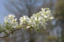 Amelanchier Diseases