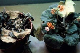 Phytophthora on African violet