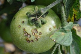 Bacterial Spot of Tomato: Biology and Management