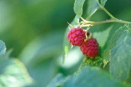 Home Gardens: Red Raspberry Variety Selection