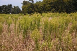 Horseweed. Photo: Bill Curran, Penn State