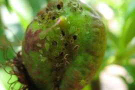 Green Peach Aphid in the Home Fruit Planting
