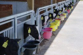 Precision is Key to Consistency in Calf Feeding