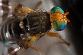Tree Fruit Insect Pests - Cherry Fruit Fly and Black Cherry Fruit Fly