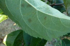 Dull, olive green areas visible on the undersides of leaves are the first evidence of apple scab.