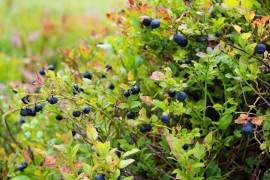 Planting Blueberries in Home Fruit Plantings