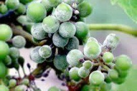 Grape Disease - Downy Mildew