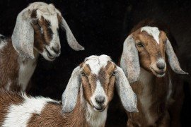 Dairy Goat Production
