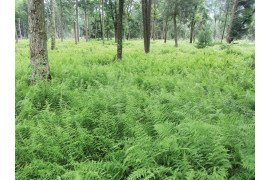 Fern-dominated forest understories interfere with forest regeneration and provide poor habitat for wildlife. Photo Credit: David Jackson