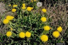 Photo: Howard F. Schwartz, Colorado State University, Bugwood.org, dandelion, Taraxacum officinale