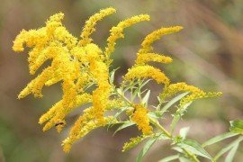 Goldenrod (Solidago) Diseases