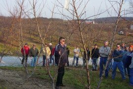 Tree Fruit Cold Hardiness - Effect of Pruning