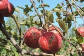 Orchard IPM - Apple Scab Scouting and Management