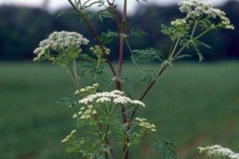 Photo: John Cardina, The Ohio State University, Bugwood.org poison-hemlock Conium maculatum plant