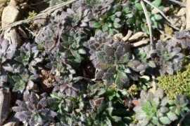 Photo of horseweed taken in early November. Curran, Penn State