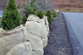 Evergreens near a high use roadway are wrapped with burlap to give some protection from damaging salt spray.