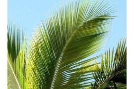 Palm Diseases