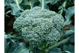 2014 Broccoli Variety Trial Results