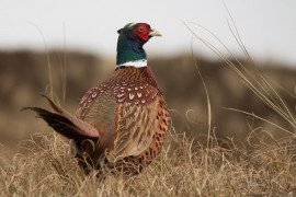 Warm-Season Grasses for Pheasants