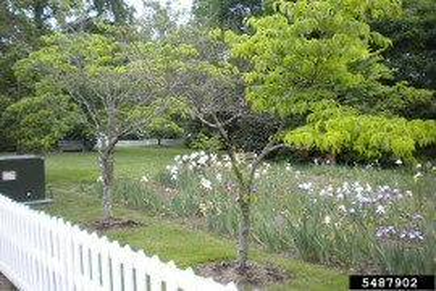 Photo: Elizabeth Bush, Virginia Polytechnic Institute and State University, Bugwood.org - vole Microtus spp. flowering dogwood, Damage: dieback and off color foliage