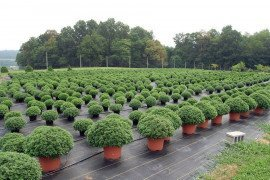 Containerized garden mums waiting to be shipped.