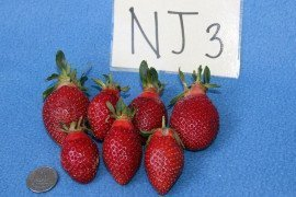 NJ 9-2-1 (trialed as NJ 3) was a high-yielding and excellent flavored variety but the berry shape is not typical. Photo: Tim Elkner