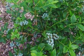 Let new blueberry plants grow for two or even three years before allowing them to set fruit.
