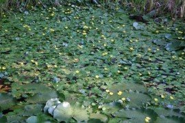 Facts About Aquatic Invasive Species and Water Gardens