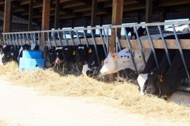 Feed Efficiency in Dairy Heifers