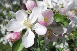 Tree Fruit Bloom Stages - Apple