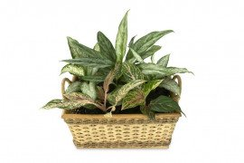 Aglaonema Diseases