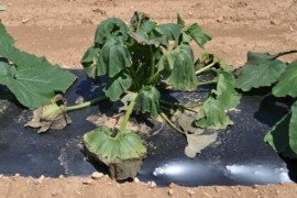 Bacterial wilt of pumpkin (Photo: Beth K. Gugino)