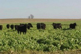 Cattle graze cover crops in a field.