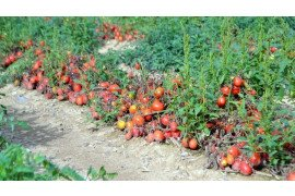 On the Road: Furmano's and Earl Lake Farm: Tomato Harvesting