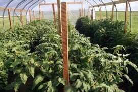 High tunnel tomatoes. Photo: Elsa Sanchez