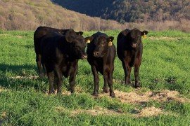 Beef Production and Management