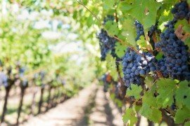 Home Fruit Gardens: Table 6.6. Pesticide Recommendations for Grapes