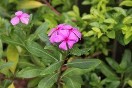 Catharanthus (annual vinca) Diseases