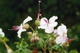 2015 Perennial Plant of the Year™ Geranium xcantabrigiense 'Biokovo' Photo: Sinclair Adam