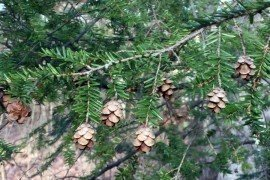 Petite cones of Canada Hemlock. Photo: Kathy Salisbury