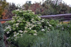 Climbing hydrangea will cover any structure adding an interesting element into the landscape. From afar, the two different flower structures can be very attractive. Photo: Tom Butzler