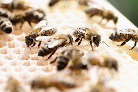 A Quick Reference Guide to Honey Bee Parasites, Pests, Predators, and Diseases