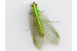 Lacewings are close relatives of dobsonflies and fishflies, all found within the insect order Neuroptera, also known as the net-winged insects. Photo: Amy Korman, Penn State