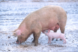 Sow and Piglet, A.K. Butters-Johnson, Iowa State University