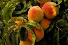 General Cultural Controls in Home Stone Fruit Plantings