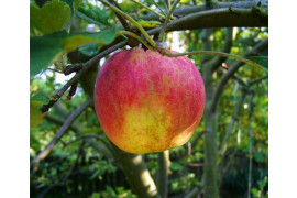 Pest Management in Apples in Home Fruit Plantings