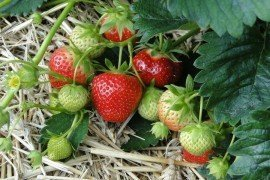 Pests and Pesticides in Home Fruit Plantings