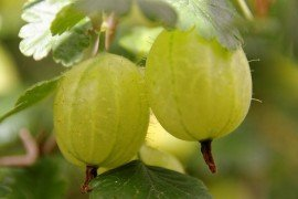 Disease Descriptions for Gooseberries and Currants